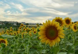 The Sunflower Season in Le Marche