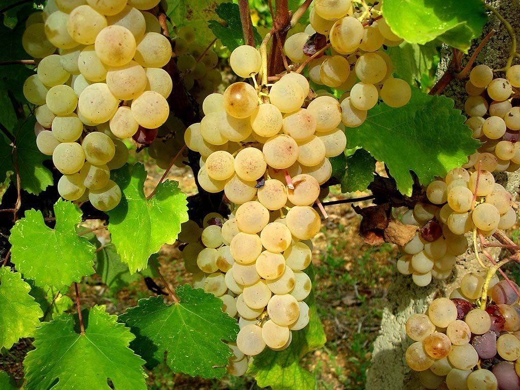 grappoli-vernaccia-oristano