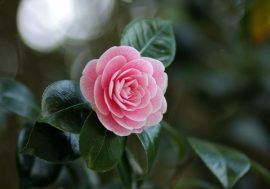Camellia Festival in Lucca