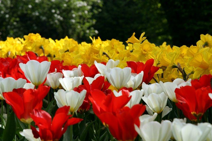parco-giardino-sigurtà-tulipani