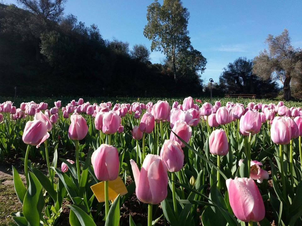 tulipani-sardegna-evento
