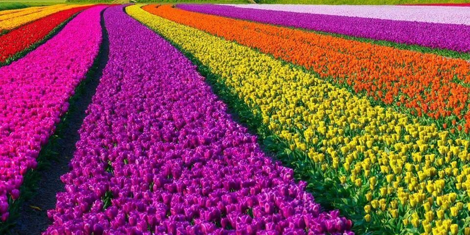 tulips-turri-sardinia-festival