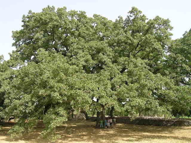 quercia-vallonea-tricase-tree-of-the-year