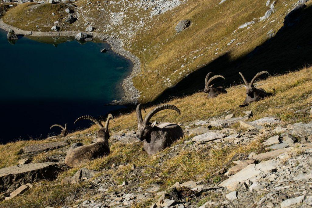 ibex-adamello-lombardia-parco