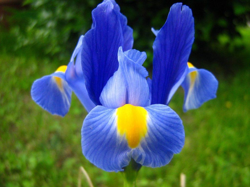 iris-giglio-firenze-giardino