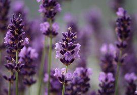 Lavender Fields in Tuscany: Provence in Pisa