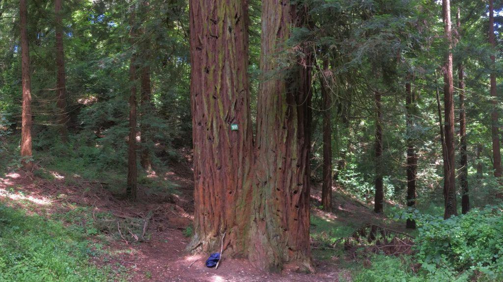 sequoia-gemella-firenze-sammezzano