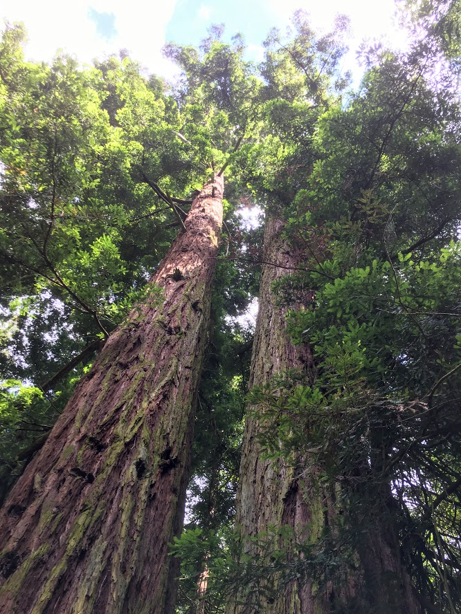 sequoia-gemella-sammezzano