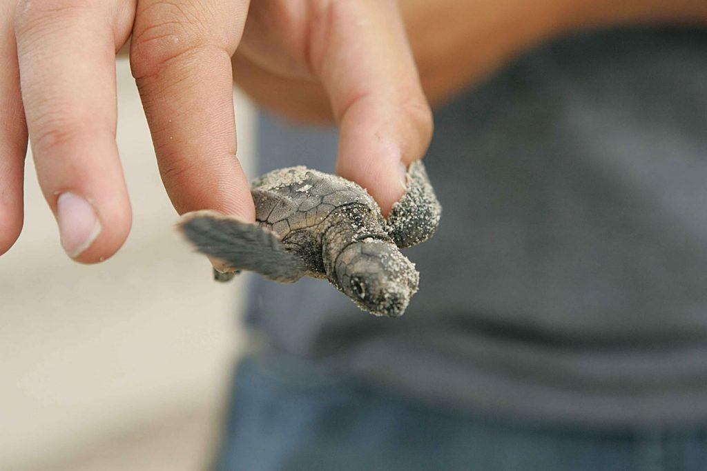 lampedusa-tartaruga-loggerhead
