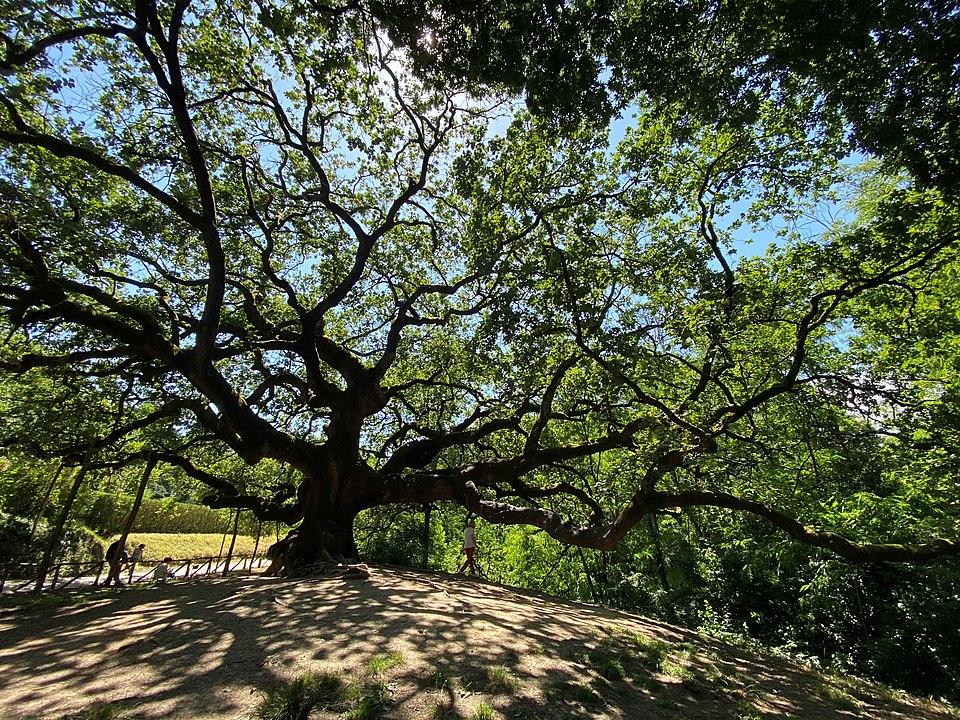 quercia-delle-streghe-lucca-montecarlo